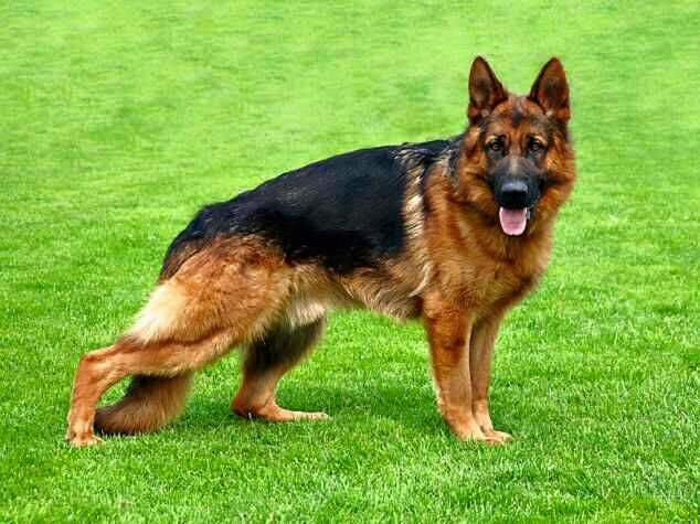 German Shepherd Dogs dog breed