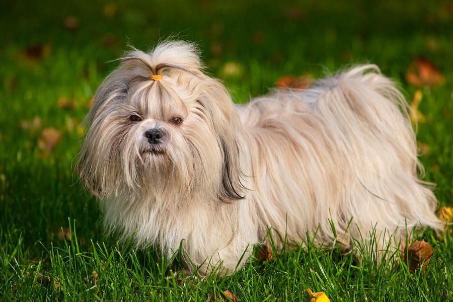 Shih Tzus dog