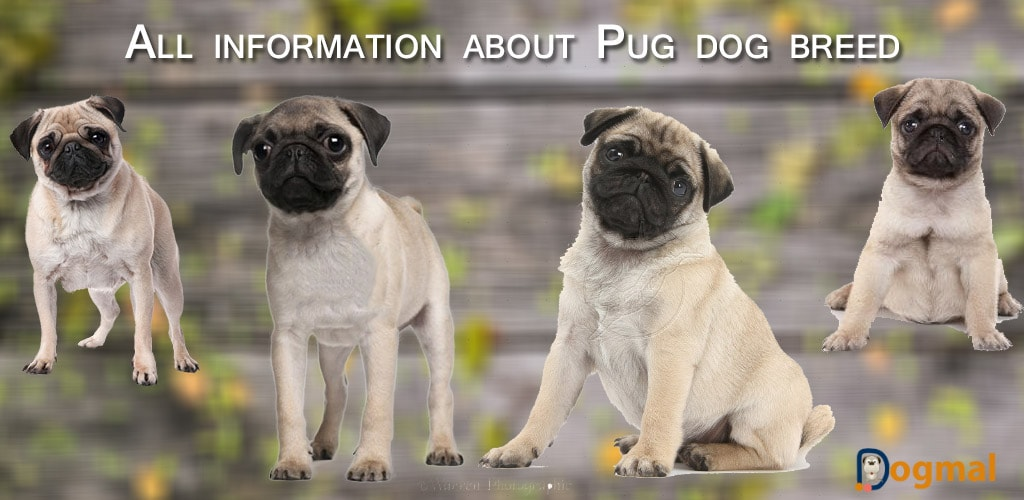 all information about pug dog