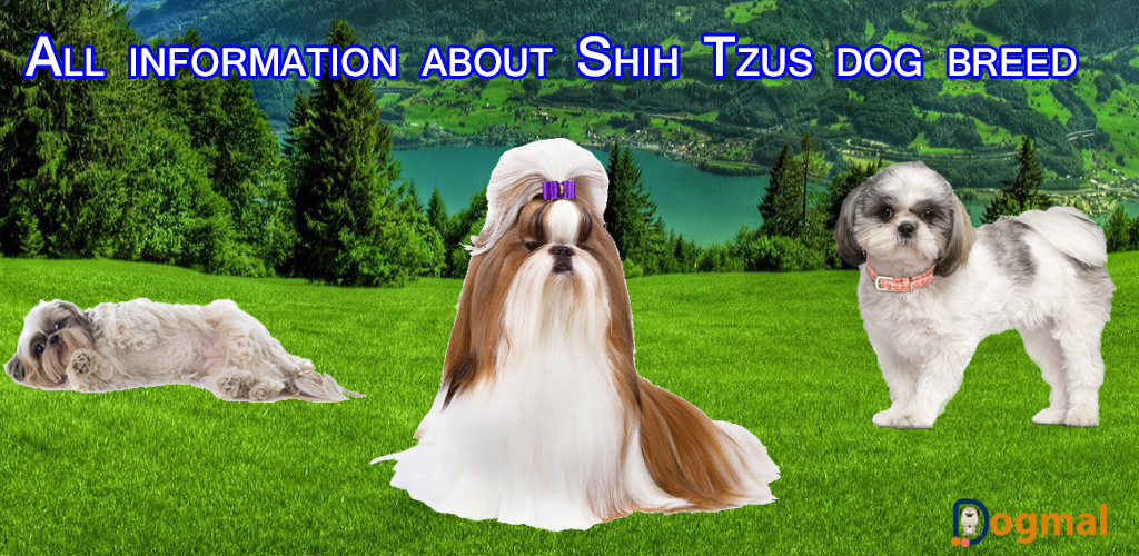 all information about shih tzus dog breed
