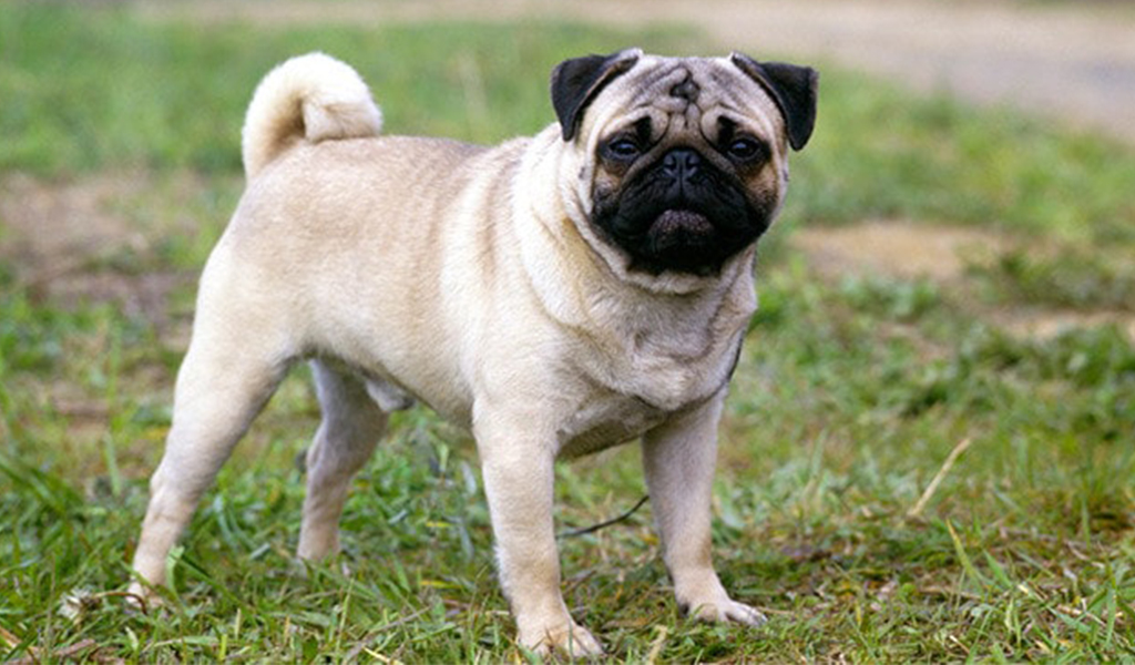Dog Breed Pug Review