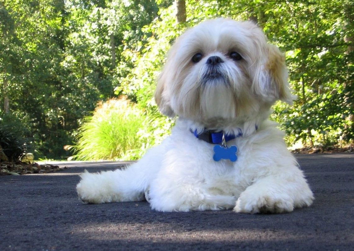 shih tzu hd wallpaper