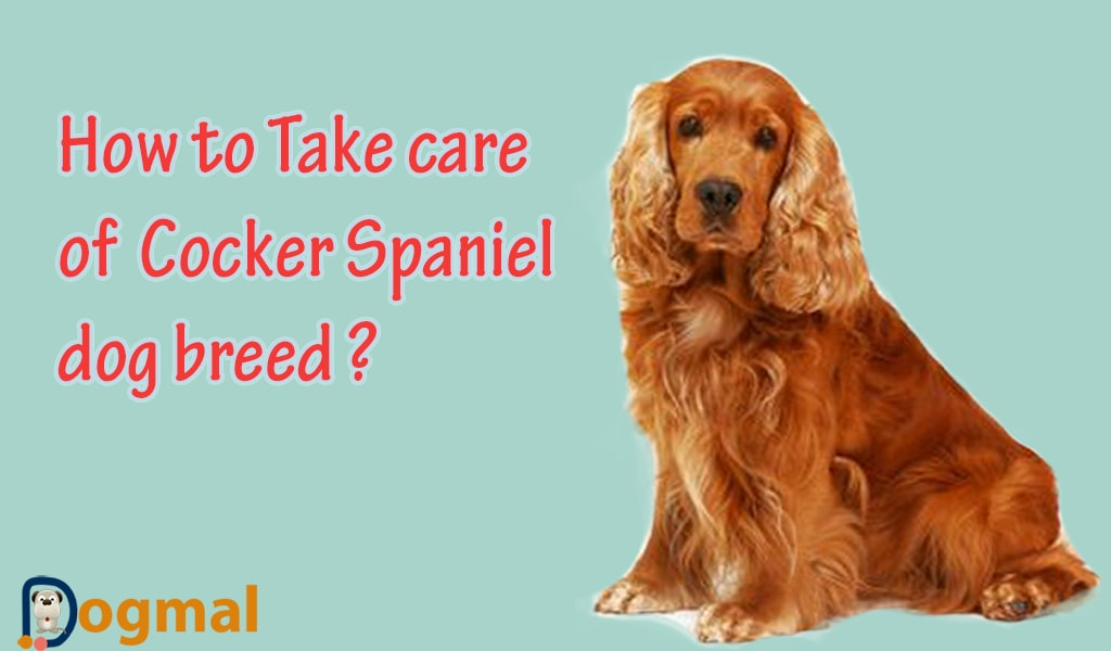 take-care-of-cocker-spaniel-dog-breed