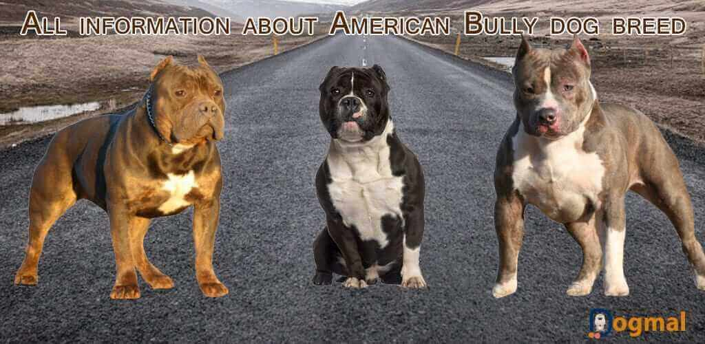 American bully dog characteristic appearance and picture american bully forumfinder Image collections