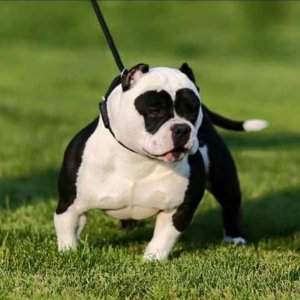 What Is The Scientific Name For A Pitbull Dog