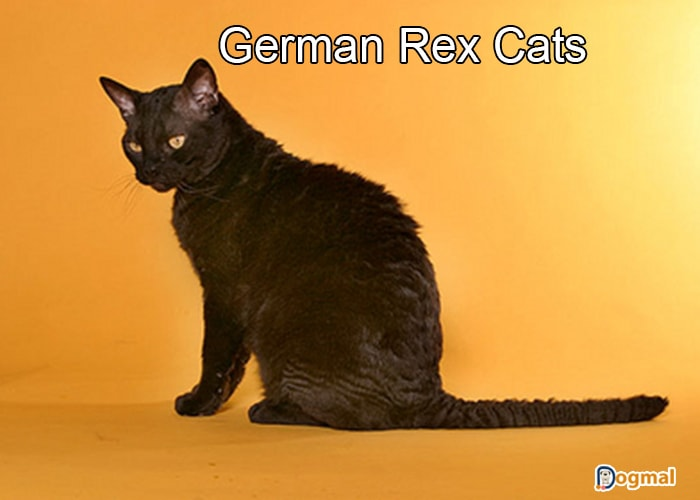 german rex cats
