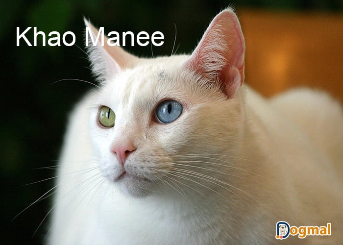 khao manee cats