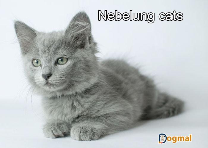 nebelung cats