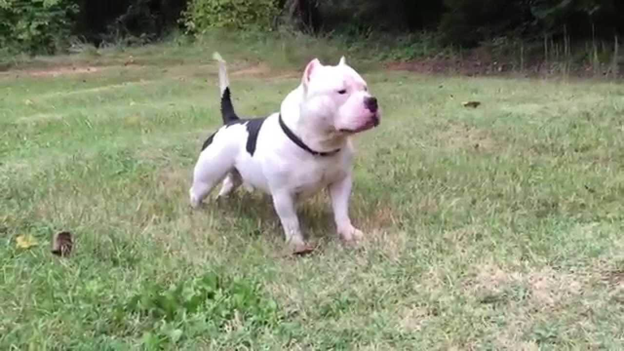 American bully dog characteristic appearance and picture american bully health problems forumfinder Image collections