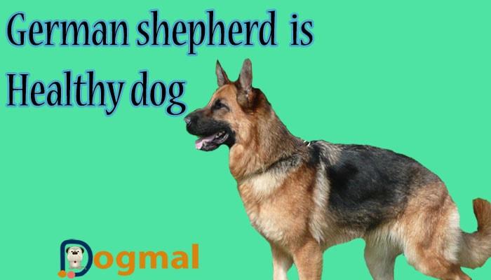 german sdhepherd is healthy dog