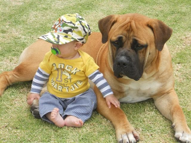 Boerboel dog breed