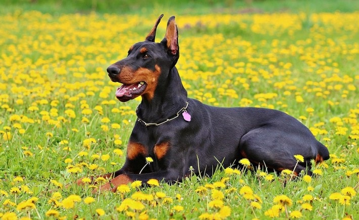Doberman dog breed