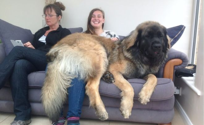 Biggest Dog Breed Weight