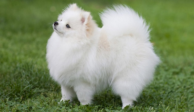 Image of: Pets4homes Pomeranian Dog Reviews Dogmal Pomeranian Dog Reviews Real Reviews From Real People