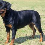 Rottweiler dog breed