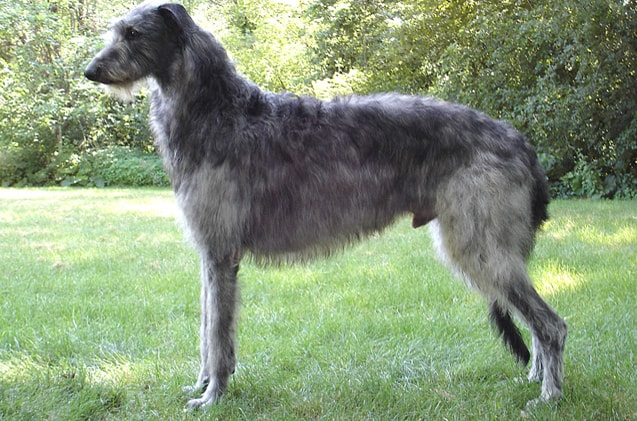 Scottish deerhound dog breed