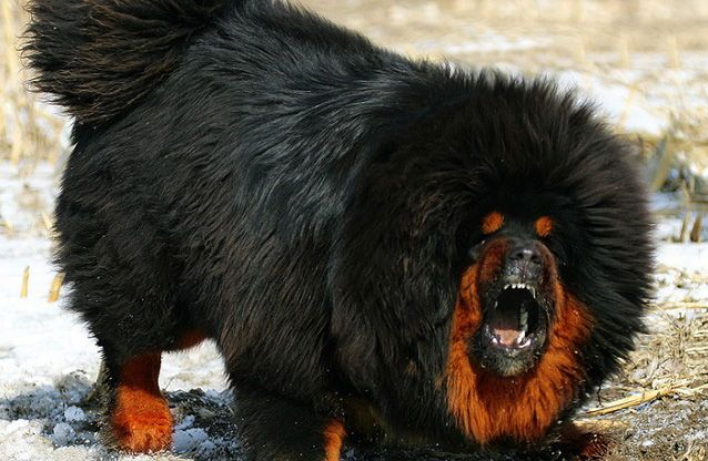Tibetan mastiff dog reviews - real reviews from real people.