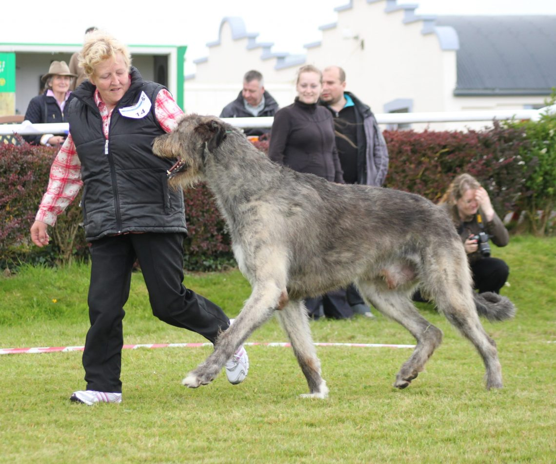 photos of irish wolfhound biggest dogs 10 biggest dogs breed in the world 2017 1179