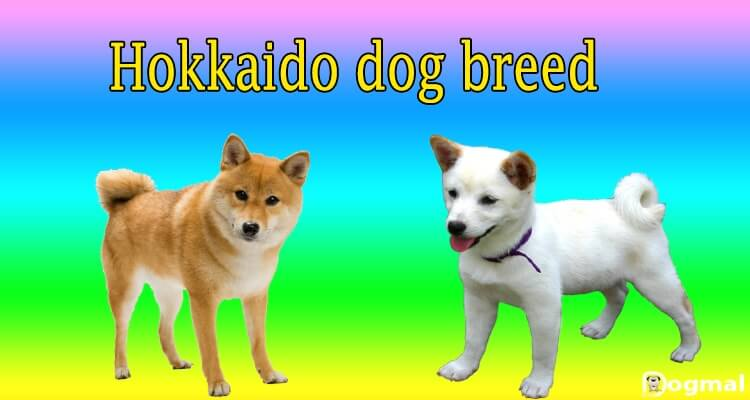 Hokkaido dog