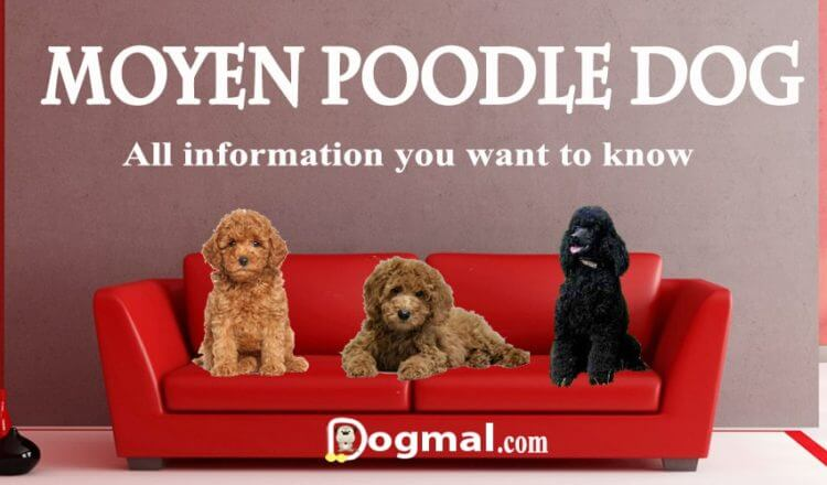 Moyen poodle dog