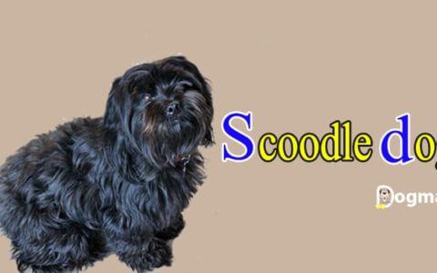 Scoodle dog