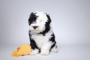 Sheepadoodle - characteristics, appearance and pictures