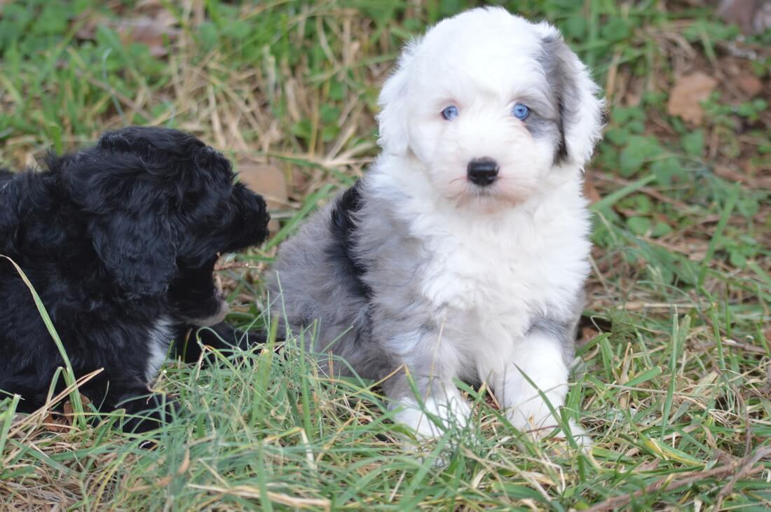 Sheepadoodle puppies photo