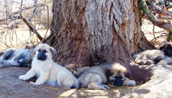 alsatian puppies