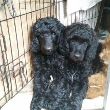 black moyen poodle