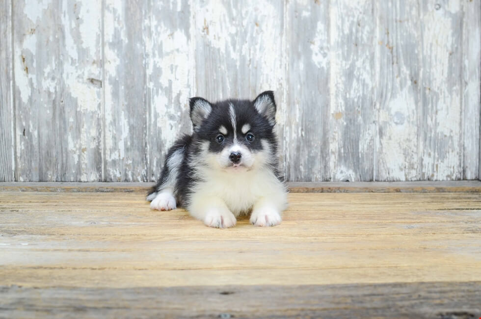 Show Me A Picture Of A Pomsky Dog