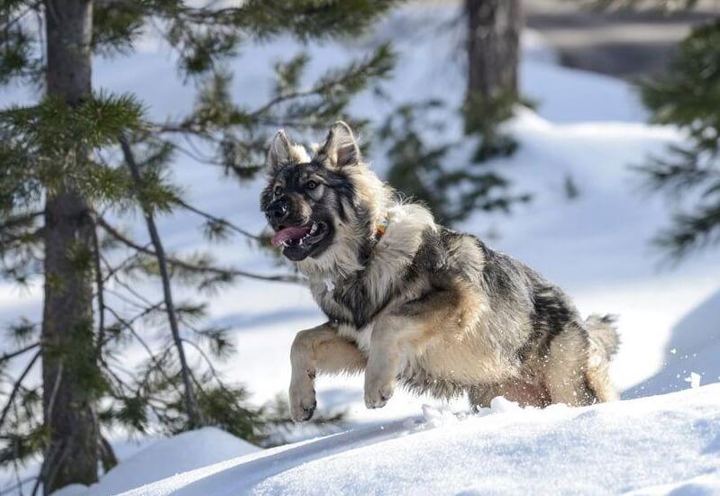 Alsatian Dog For Sale