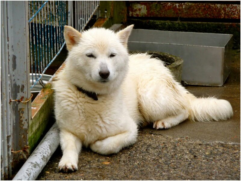 Hokkaido Dog Characteristics Appearance And Pictures