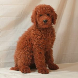 red moyen poodle dog
