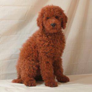 Cincinnati Dog For Sale