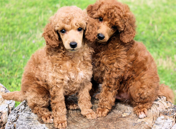 Moyen Poodle Characteristics Appearance And Pictures