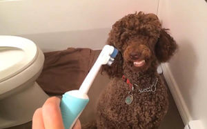 teeth you moyen poodle