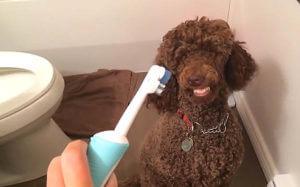 teeth you moyen poodle