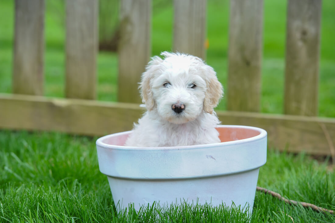 Best Dog Foods For Lold English Sheepdog Puppies