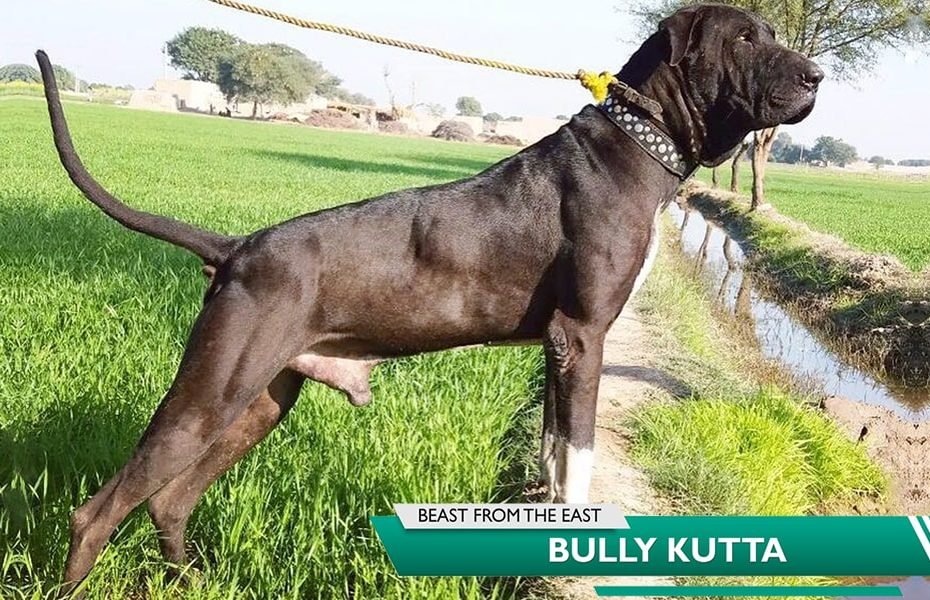Bully Kutta Pakistani Mastiff