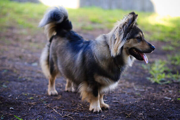 Corgi and German Shepherd Mix hd photo