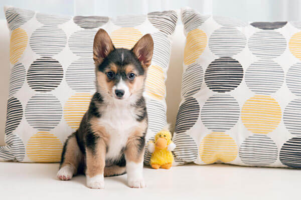 Corgi german shepherd mix with toy