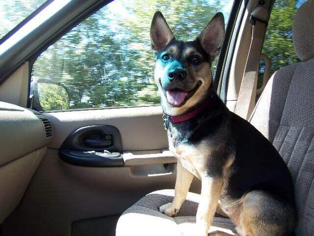Corgi in the car