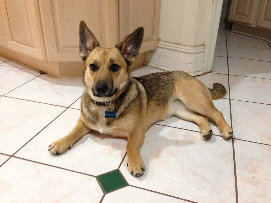 German Shepherd Corgi mix Image