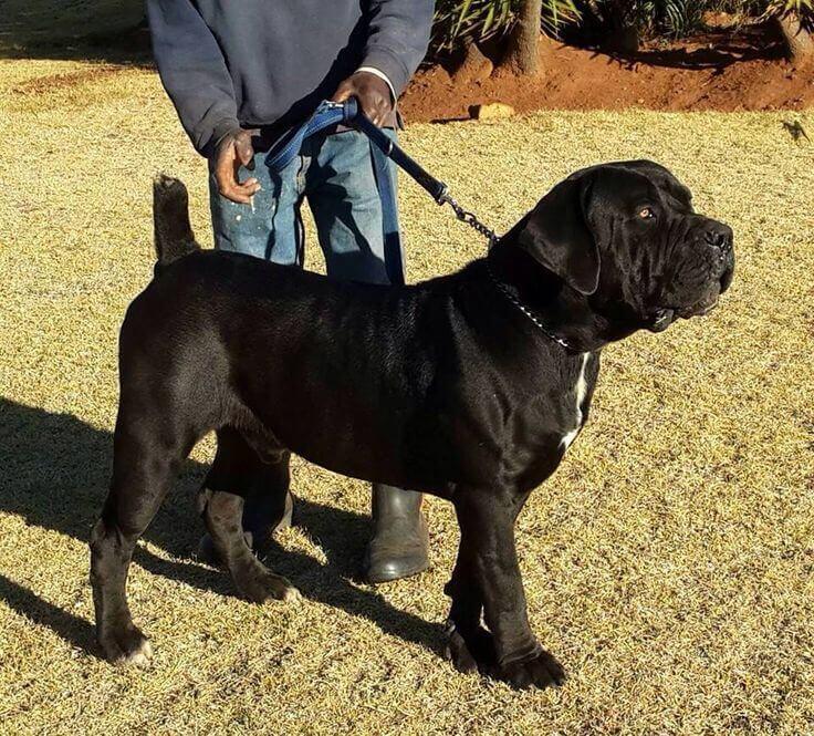 African Dog Breed Like Pitbull