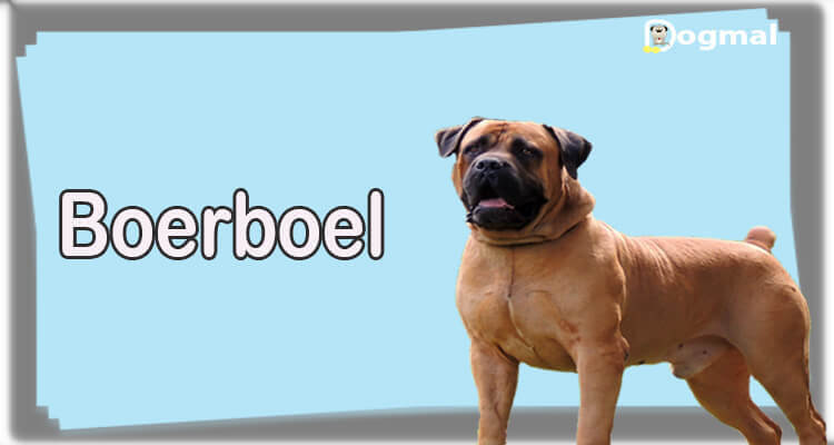 Boerboel Dog Breed Characteristics Appearance History