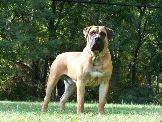 Boerboel dog breed - characteristics, appearance, history
