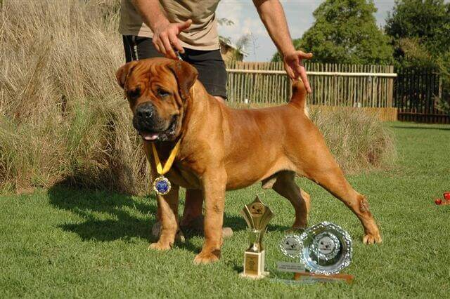 boerboel kennels in usa