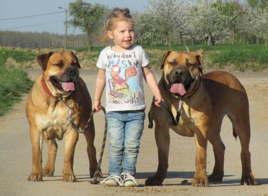 boerboel kinds frendly