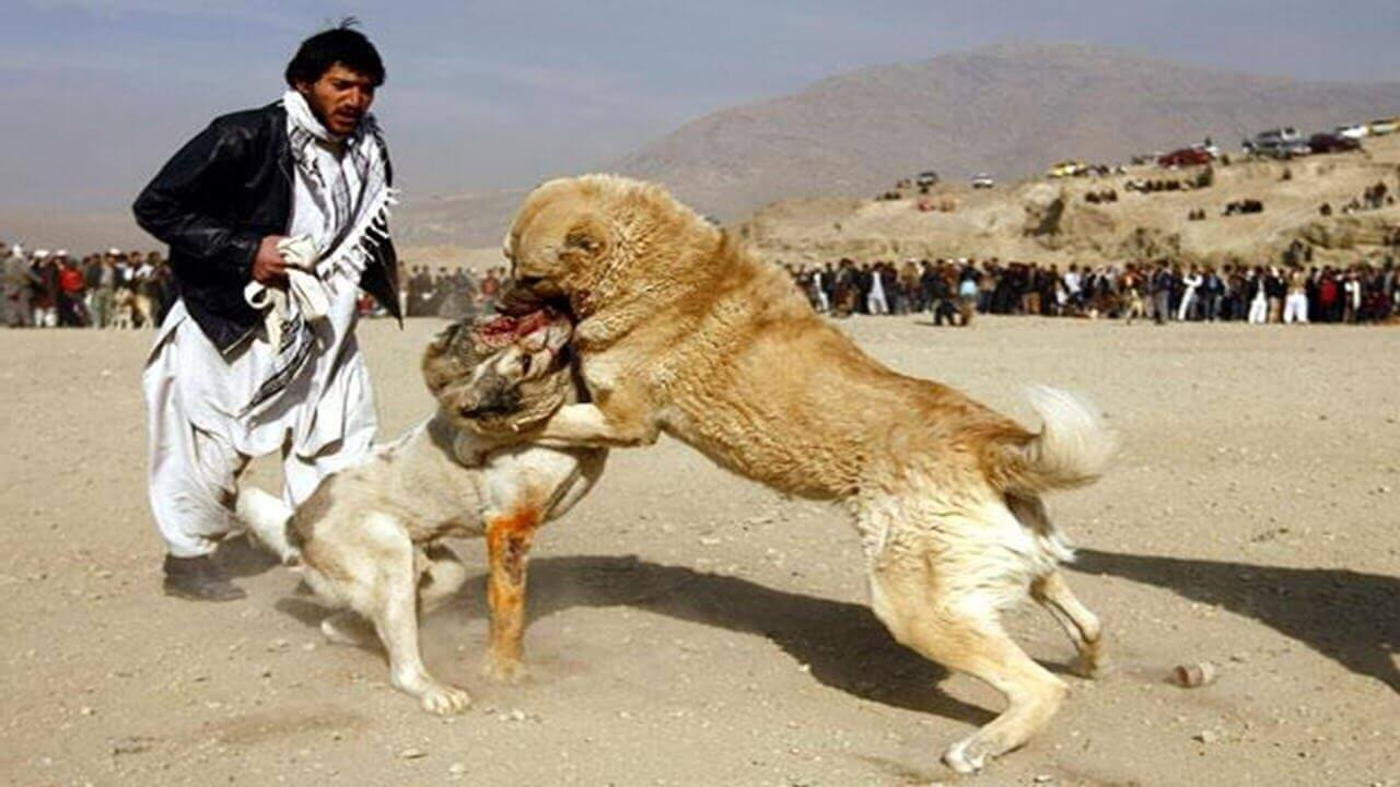 Dog  Sale In Pakistan