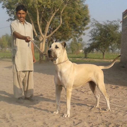 Bully Kutta dog breed characteristics, appearance and pictures
